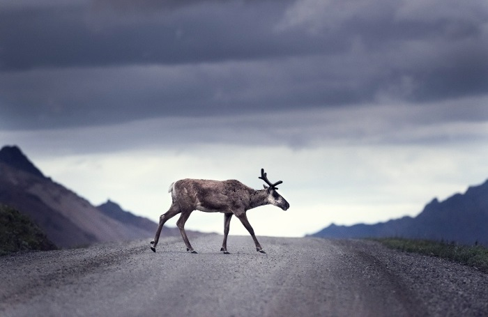caribou crossing road on cloudy day