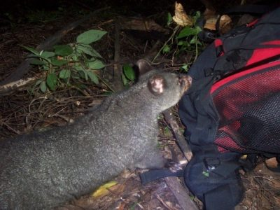 possum going through tent at night